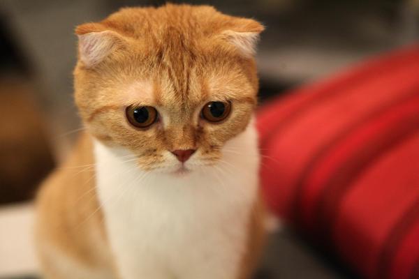 Самые игривые породы кошек - шотландская вислоухая кошка