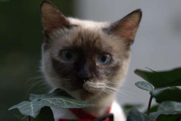 Самая игривая порода кошек - бирманская кошка