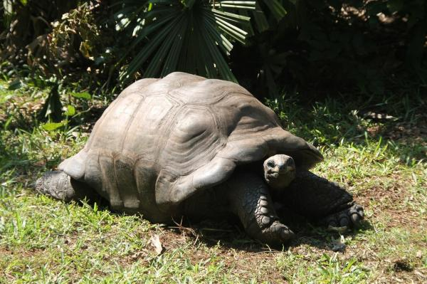 Как узнать, беременна ли ваша черепаха - Как узнать, беременна ли ваша черепаха